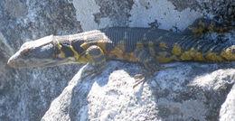 Image of <i>Pseudocordylus <i>microlepidotus</i></i> microlepidotus (Cuvier 1829)
