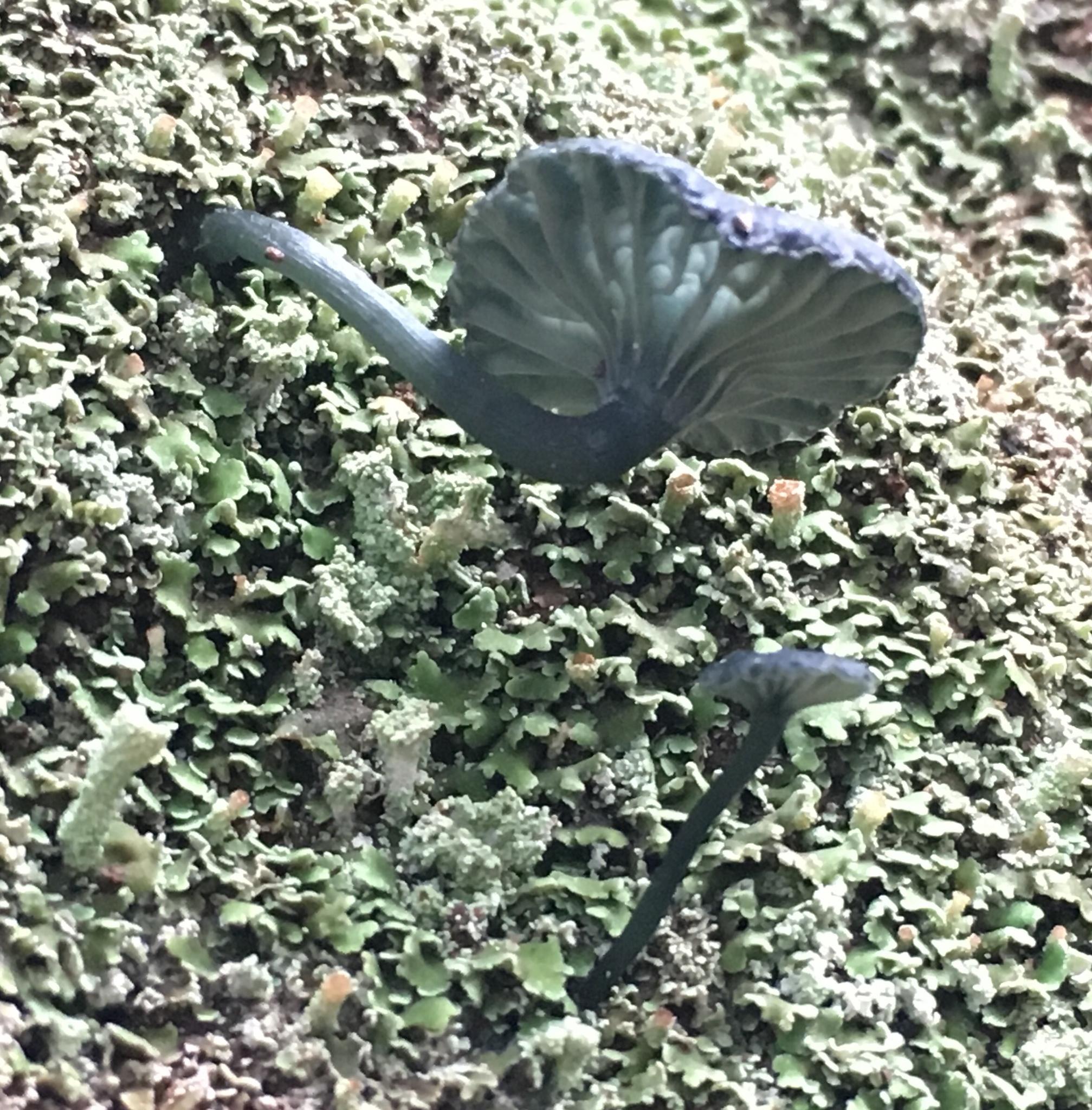 Image of <i>Arrhenia chlorocyanea</i>