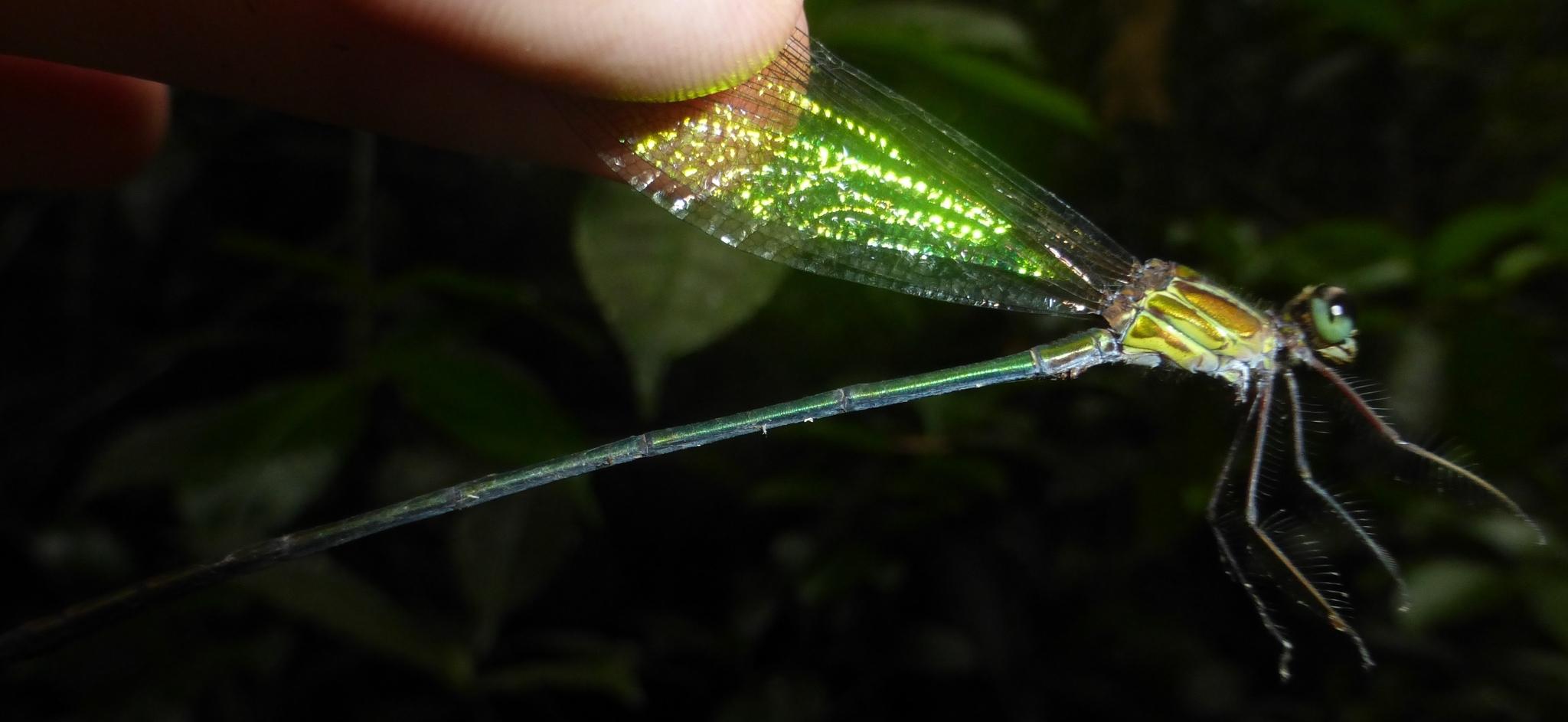 Image of <i>Phaon rasoherinae</i> Fraser 1949