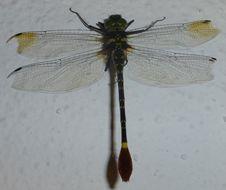 Image of <i>Phyllomacromia trifasciata</i> (Rambur 1842)