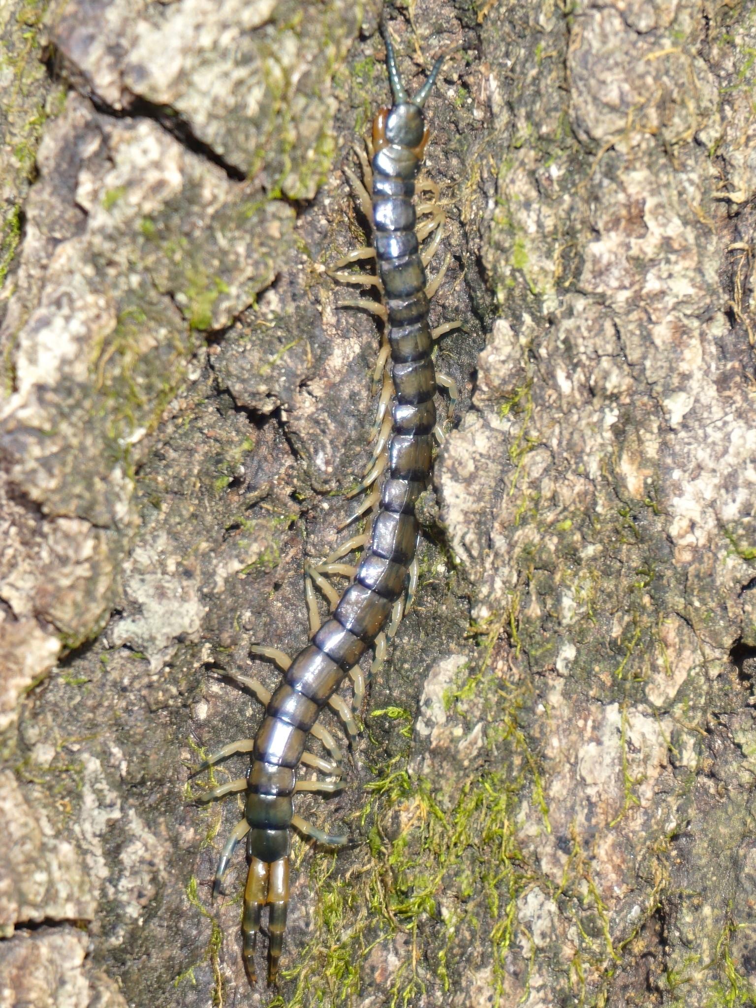 Image of <i>Hemiscolopendra marginata</i> Say (1821)