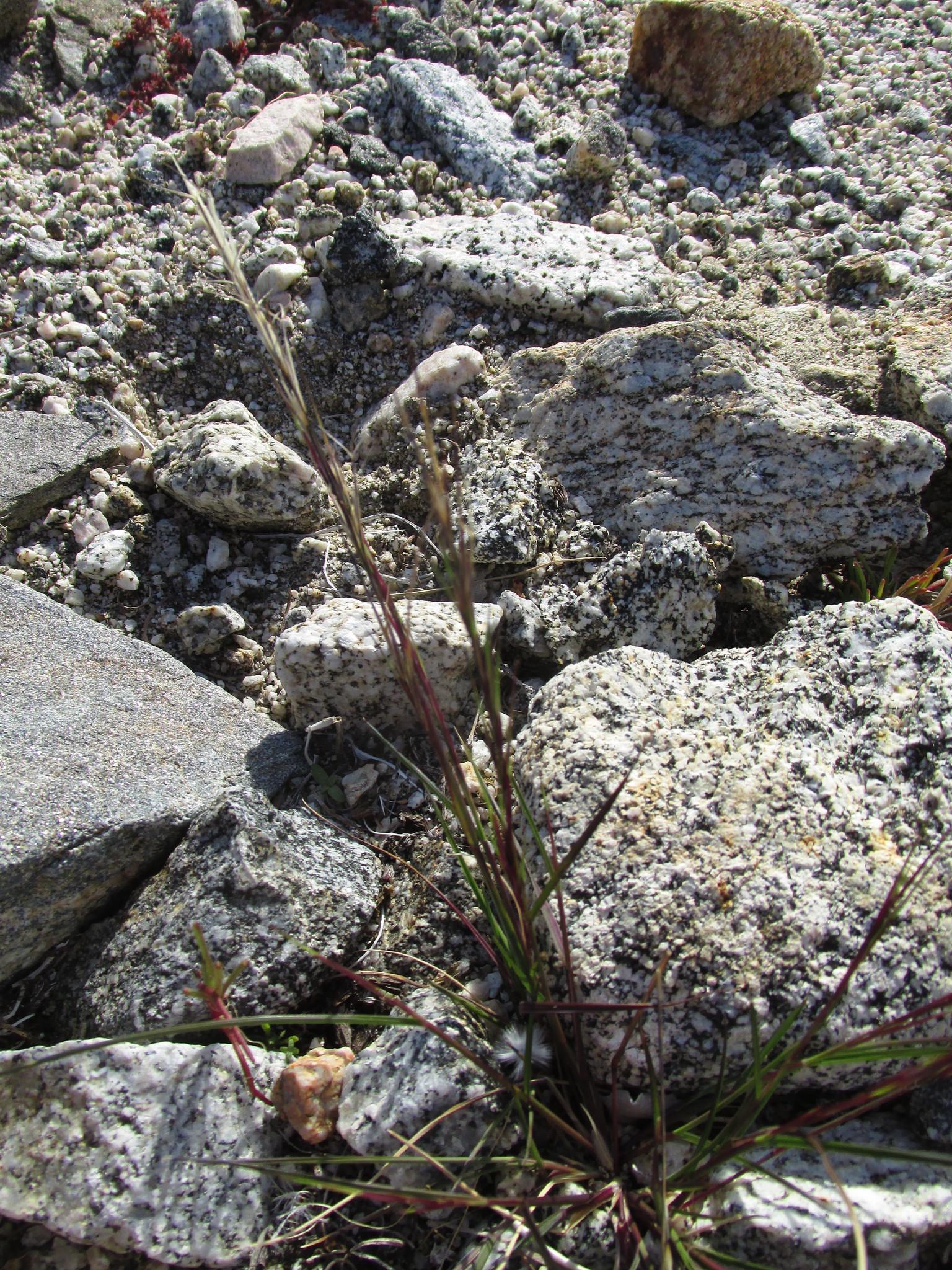 Image of <i>Aristida adscensionis</i>