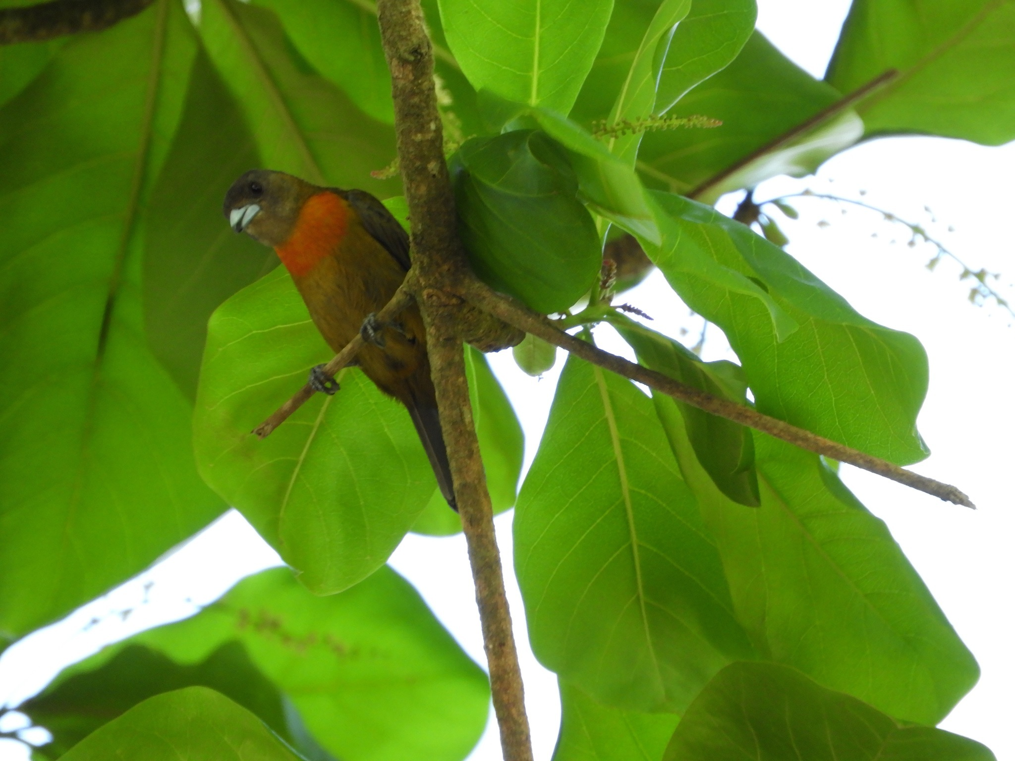 Image of Cherrie's Tanager