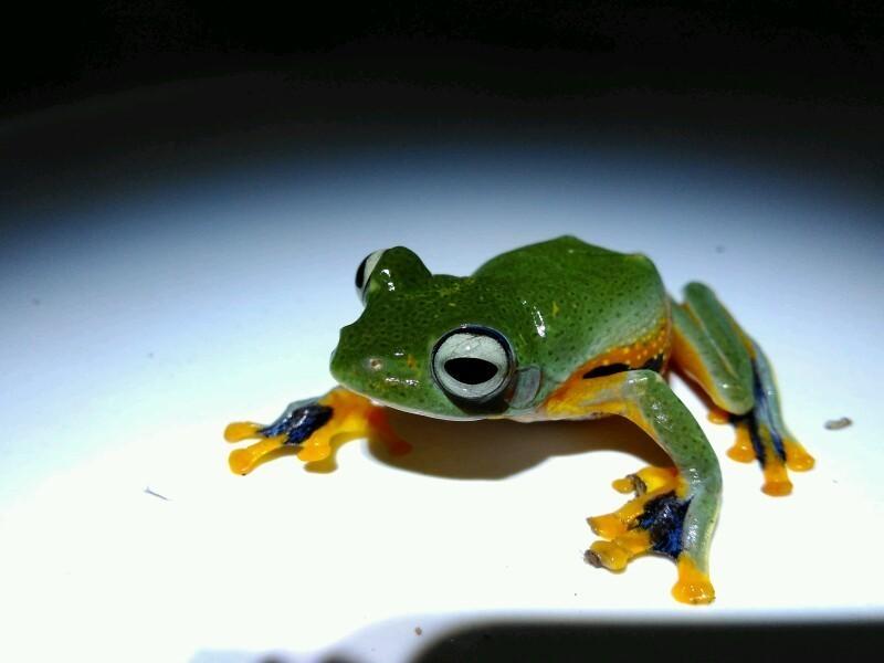 Image of black-webbed tree frog