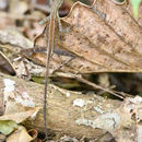 صورة <i>Otocryptis wiegmanni</i> Wagler 1830