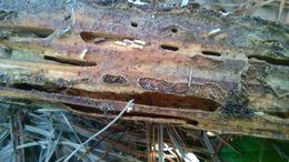 Image of Eastern Subterranean Termite