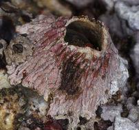 Image of <i>Tetraclita rubescens</i> Darwin 1854