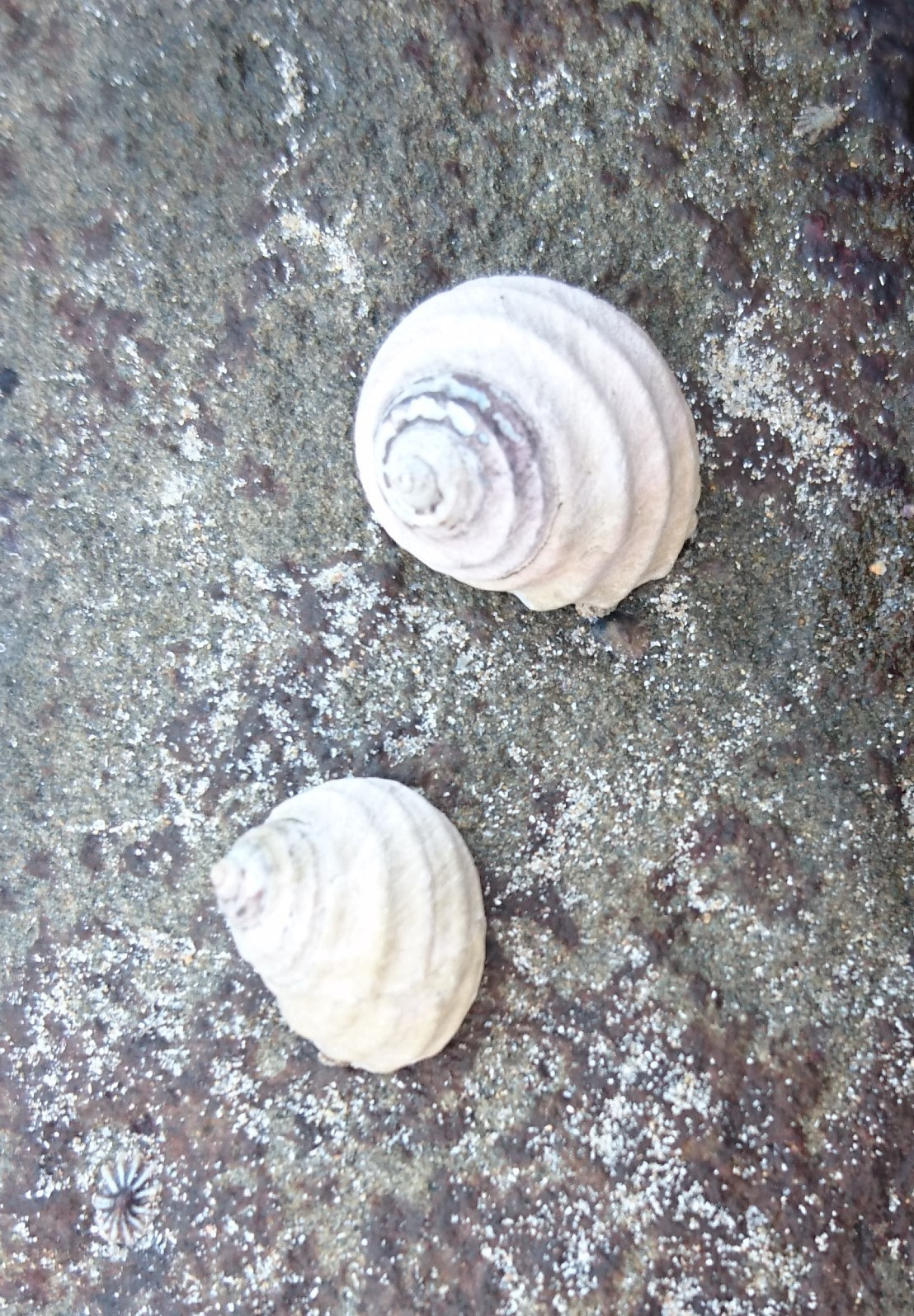 Image of <i>Austrocochlea constricta</i> (Lamarck 1822)