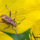 Image of Reed beetle
