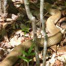 Image of Blonde Hognose Snake