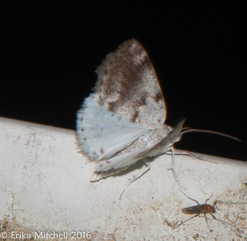 Image of Bluish Spring Moth