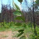 Image of <i>Dioscorea analalavensis</i>