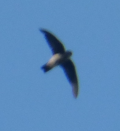 Image of Seychelles Swiftlet