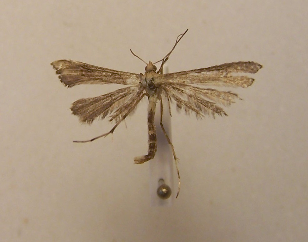 Image of <i>Platyptilia isodactylus</i>