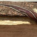 Image of New Zealand Flatworm