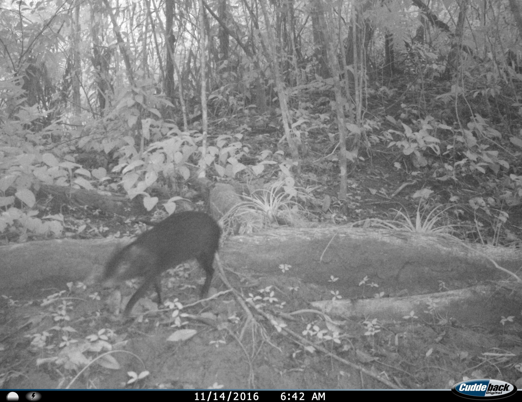 Image of Mexican Agouti