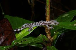 Image of Four-striped Forest Gecko