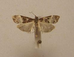 Image of <i>Scoparia minusculalis</i> Walker 1865