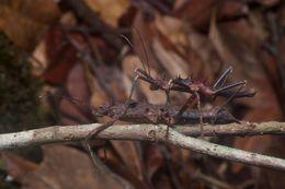 Image of <i>Hoploclonia gecko</i> (Westwood 1859)