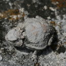 Image of Short-tailed horned lizard