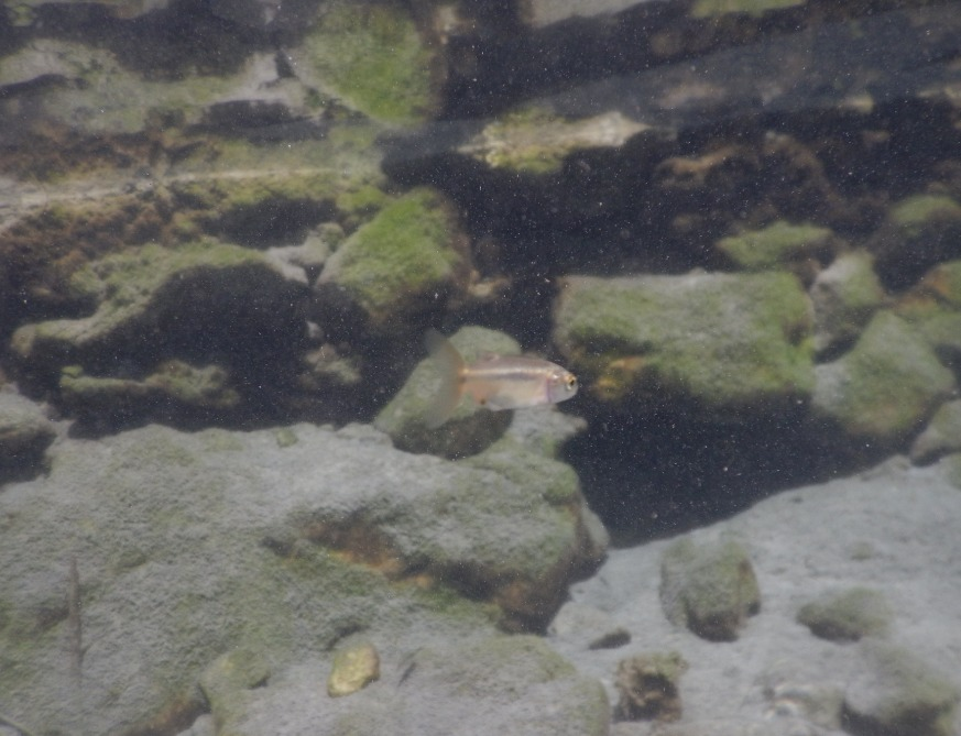 Image of spotted minnow