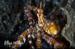 Image of The wonderpus octopus