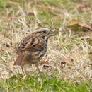 Image of Song Sparrow