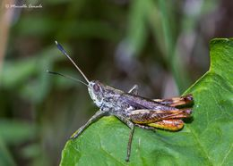 Image of Rufous Grasshopper