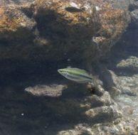 Image of Banded rainbowfish