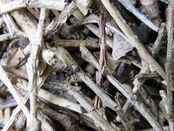 Image of leaf-cutter ants