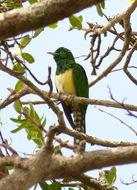 Image of African Emerald Cuckoo