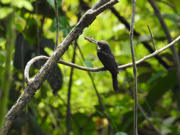 Image of Dusky-backed Jacamar