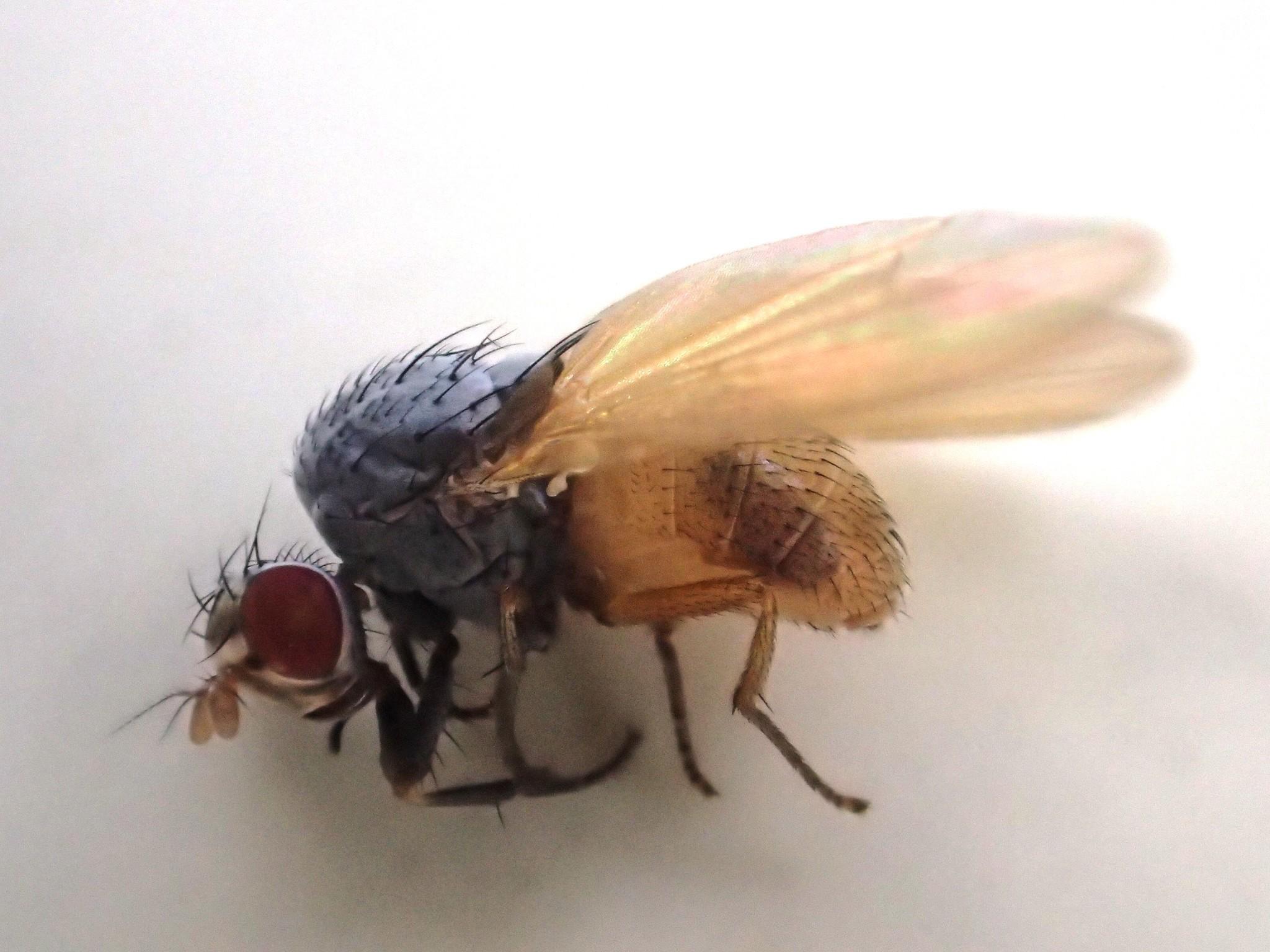 Image of <i>Minettia lupulina</i> (Fabricius 1787)