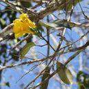 Image of <i>Anemopaegma chrysanthum</i>