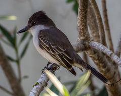 Image of La Sagra's Flycatcher