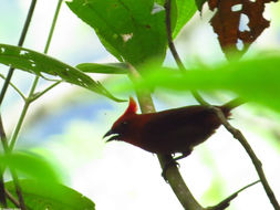 Image of Crested Ant Tanager