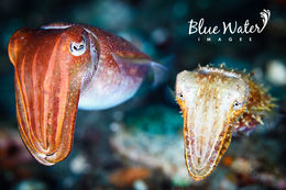 Image of Broadclub Cuttlefish