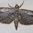 Image of <i>Eupithecia bolterii</i> Hulst 1900