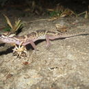 Image of Central American Banded Gecko