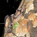 Image of Eastern Bark Snake