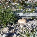 Image of Desert Pocket Mouse