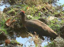 Image of Red-naped Ibis