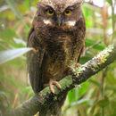 Image of White-throated Screech Owl
