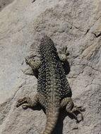 Image of <i>Phymaturus rahuensis</i>