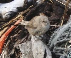 Image of Cobb's Wren