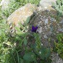 Image of <i>Salvia viridis</i>