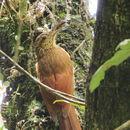 Image of Black-banded Woodcreeper