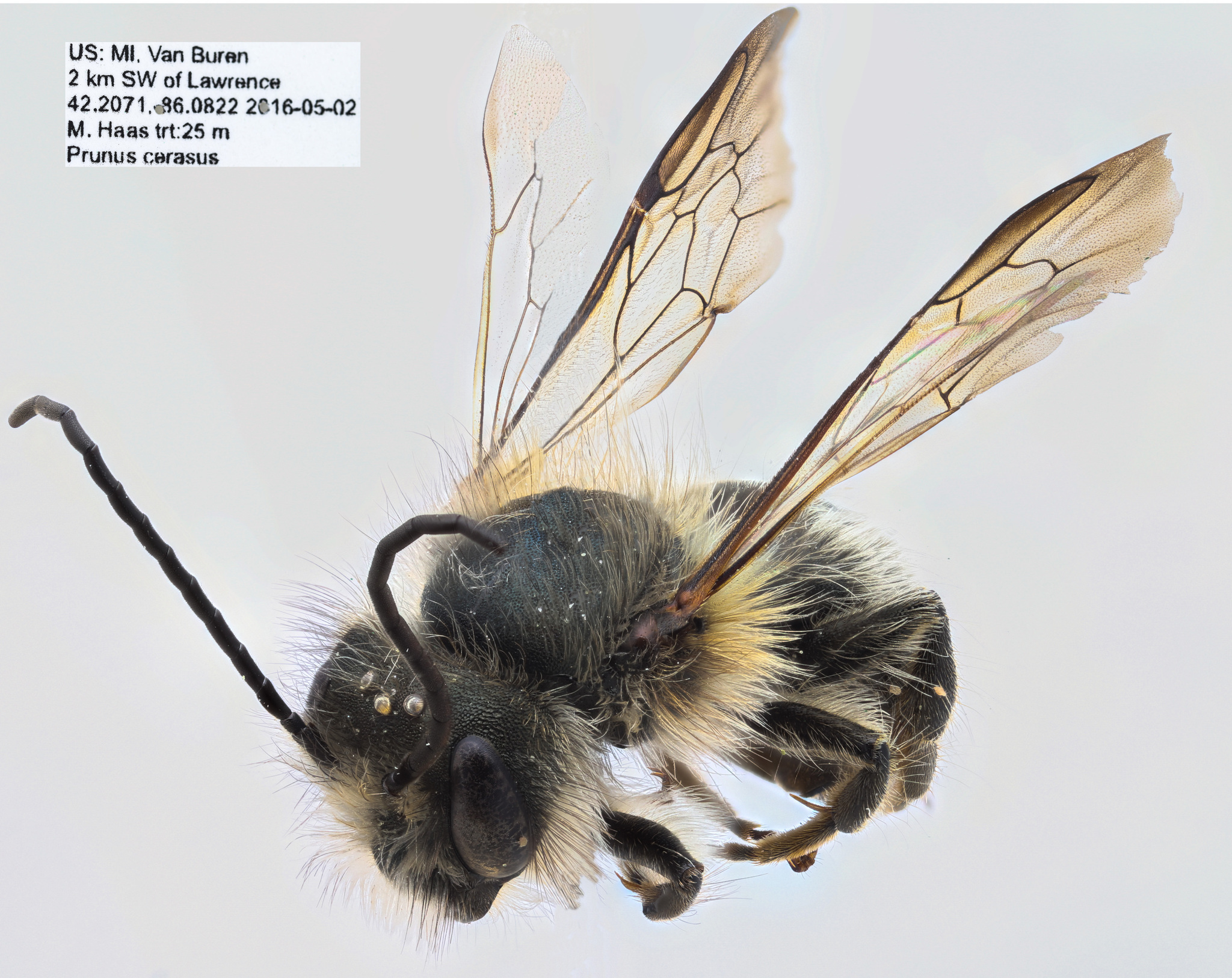 Image of Hornfaced bee