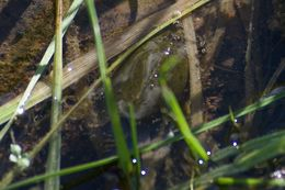 Image of Vernal pool tadpole shrimp