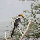 Image of Eastern Yellow-billed Hornbill